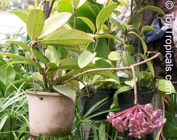Hoya Pubicalyx Harlequin Wax Plant Toptropicalscom