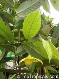 Desmos cochinchinensis, Dwarf Ylang Ylang shrubClick to see full-size image
