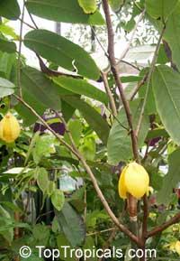 Desmos cochinchinensis, Dwarf Ylang Ylang shrub  Click to see full-size image