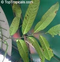 Rauwenhoffia siamensis, Melodorum siamensis, Rauwenhoffia  Click to see full-size image