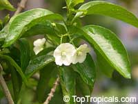 Wrightia sp., Thai Cherry Wrightia  Click to see full-size image