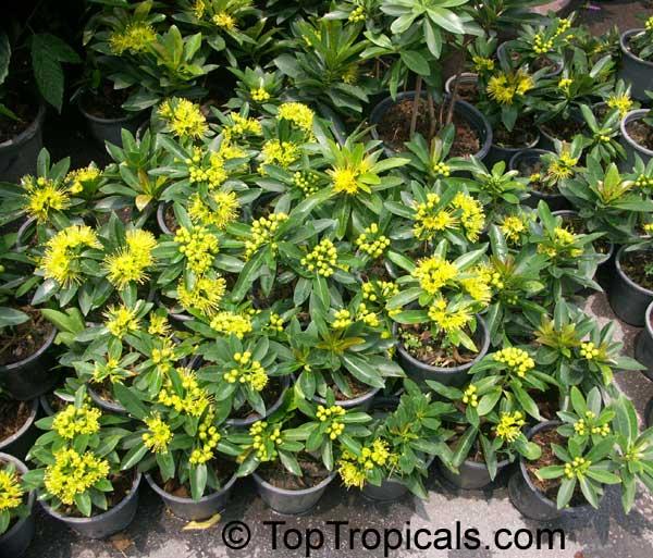 Xanthostemon Chrysanthus Golden Penda Expo Gold Junjum