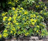 Xanthostemon chrysanthus, Golden Penda, Expo gold, Junjum  Click to see full-size image