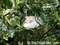 Gardenia sp. variegata, Variegated gardenia