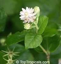 Jasminum sambac Mali Chat, Mali Chat, Malichat  Click to see full-size image