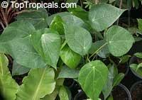 Macaranga sp., Macaranga, Nasturtium Tree, Parasol Leaf TreeClick to see full-size image