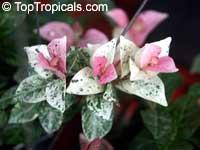 Trachelospermum asiaticum Tricolor, Goshiki Kazura, Tricolor Star Jasmine, Variegated trechelospermum  Click to see full-size image