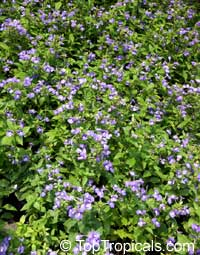 Achetaria azurea, Otacanthus caeruleus, Brazilian Snapdragon, Amazon Blue  Click to see full-size image