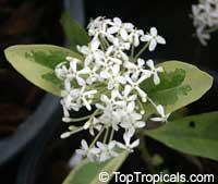 Ixora finlaysoniana, Ixora fragrans, Fragrant IxoraClick to see full-size image