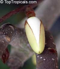 Magnolia dianica, Magnolia shrub  Click to see full-size image
