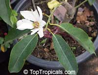 Magnolia floribunda, Michelia floribunda, Magnolia compressa, MagnoliaClick to see full-size image