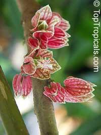 Goethea strictiflora, Goethea cauliflora, Pavonia strictiflora, Goethea  Click to see full-size image