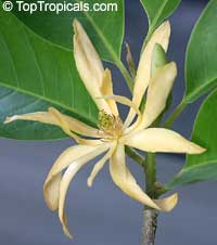 Magnolia champaca x rajaniana Dwarf (Champee Si Nuan)  Click to see full-size image