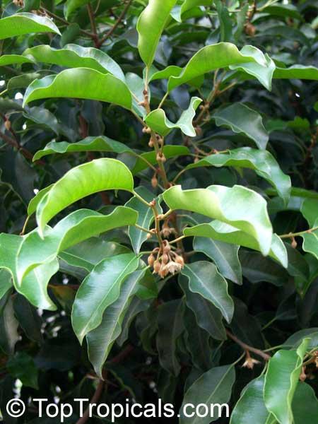 Mimusops Elengi Spanish Cherry Bakul Tree Toptropicals Com