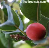 Mimusops elengi, Spanish Cherry, Bakul Tree  Click to see full-size image