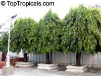 Polyalthia longifolia, Telegraph Pole Tree, Ashoka, Mast Tree  Click to see full-size image