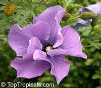 Alyogyne huegelii, Hibiscus geranifolius, Blue Hibiscus  Click to see full-size image