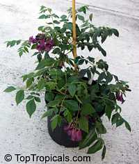 Jacaranda jasminoides, Jacaranda curialis, Bignonia curialis, Maroon jacaranda  Click to see full-size image
