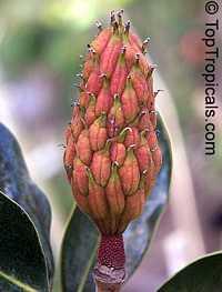 Magnolia grandiflora, Bull Bay, Southern Magnolia  Click to see full-size image
