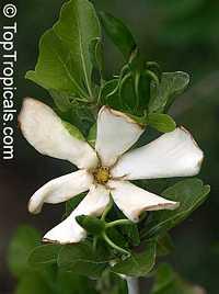 Gardenia cornuta - Horned GardeniaClick to see full-size image