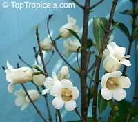 Rothmannia globosa, Rothmania, September Bells, Bell Gardenia  Click to see full-size image