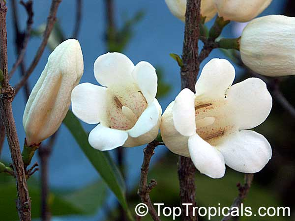 Toptropicals rare plants for home and garden rothmannia globosa september bells bell gardenia click to see full size image mightylinksfo