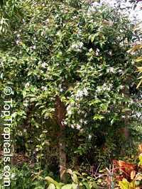 Jasminum nitidum, Jasminum magnificum, Jasminum illicifolium, Star Jasmine, Angelwing Jasmine, Shining Jasmine, Windmill Jasmine, Royal JasmineClick to see full-size image