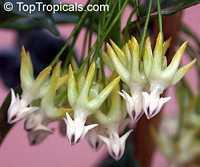 Hoya multiflora, Centrostemma multiflora, Centrostemma platypetalum, Shooting Star Hoya  Click to see full-size image