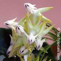 Hoya multiflora, Centrostemma multiflora, Centrostemma platypetalum, Shooting Star HoyaClick to see full-size image