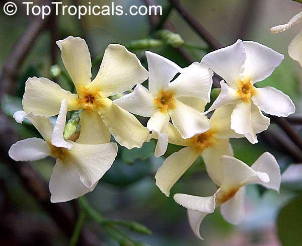 Trachelospermum Asiaticum Asian Jasmine Yellow Star Jasmine