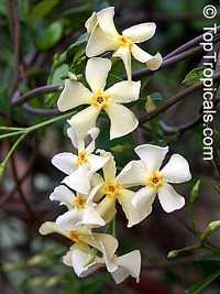 Trachelospermum asiaticum Mandaianum - Dwarf Confederate Jasmine  Click to see full-size image