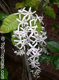 Petrea glandulosa Alba - White Queens Wreath   Click to see full-size image