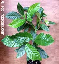 Tabernaemontana sananho, Bonafousia sanango, Sanango, Uchu Sanango, Shiric Sanago  Click to see full-size image