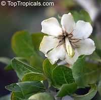 Gardenia cornuta, Gardenia ternifolia, Natal Gardenia, Horned Gardenia, Wilde-appel, Natalkatjiepiering (Afr.); Umhlahle  Click to see full-size image