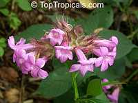 Ruellia multisetosa, Suessenguthia multisetosa, Columbian PetuniaClick to see full-size image