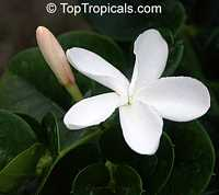 Carissa macrocarpa, Carissa grandiflora, Natal Plum  Click to see full-size image
