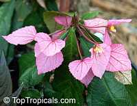 Dalechampia spathulata, Dalechampia roezliana, Winged Beauty Shrub  Click to see full-size image