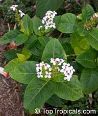 Pseuderanthemum carruthersii var. reticulatum, Pseuderanthemum reticulatum, Yellow-Vein Eranthemum, Golden PseuderanthemumClick to see full-size image