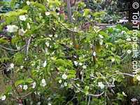 Wrightia sp., Thai Cherry WrightiaClick to see full-size image