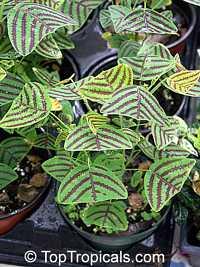 Christia ( Cristia ) obcordata, Christia subcordata, Lourea obcordata, Butterfly Stripe Plant, Swallowtail, Iron Butterfly, CordataClick to see full-size image