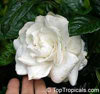 Gardenia Mystery Improved - grafted, 1 gal