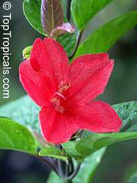 Ruellia affinis, Red Ruellia, Flower of Caipora  Click to see full-size image