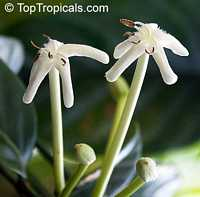 Posoqueria longiflora, Posoqueria trinitatis, Jazmin de Embarcadero, Needle Flower Tree  Click to see full-size image