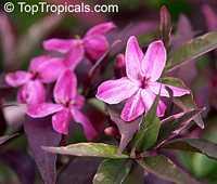 Pseuderanthemum atropurpureum Purple Haze  Click to see full-size image