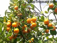 Citrus reticulata, Mandarin Orange