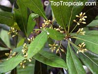 Pimenta dioica - Allspice, 1 gal pot