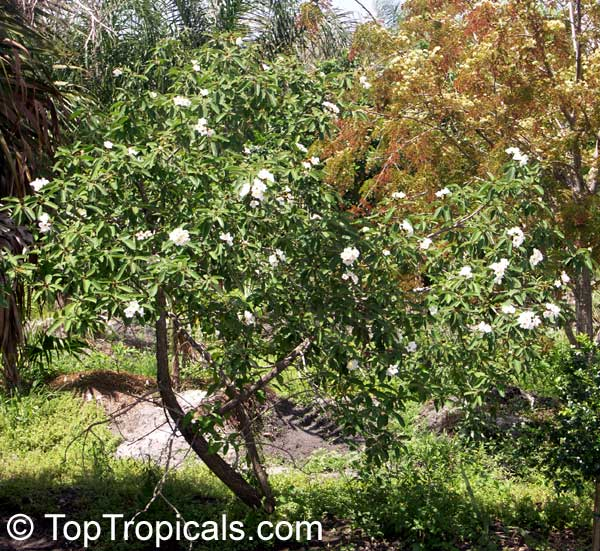 Menu For Olive Garden: Cordia Boissieri, Texas Olive, Anacahuita