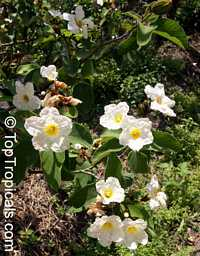 Cordia boissieri, Texas Olive, Anacahuita  Click to see full-size image