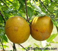 Citrus paradisi, Grapefruit  Click to see full-size image