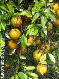 Citrus x sinensis, Orange  Click to see full-size image
